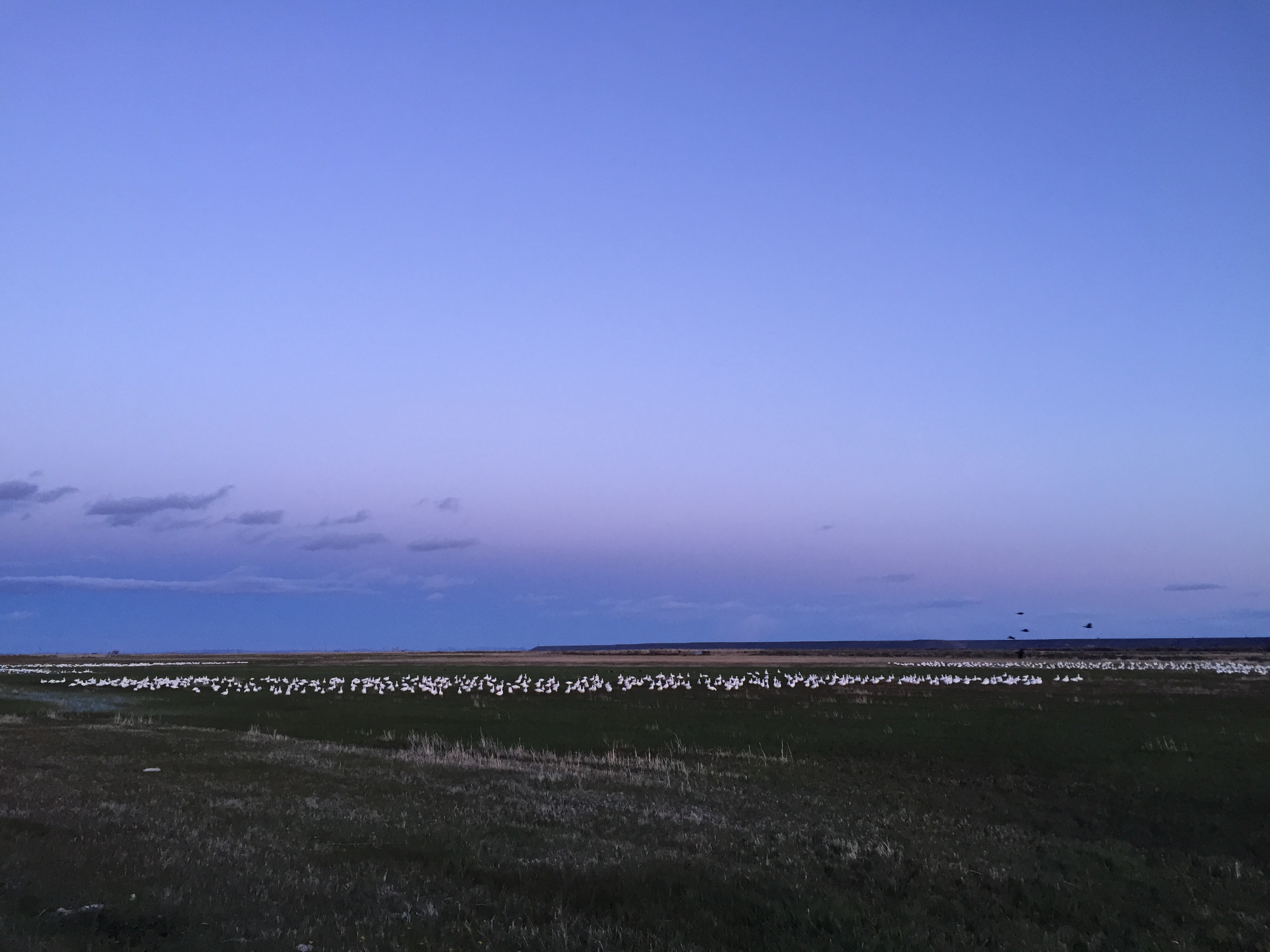 Kira-Harney-snow-geese-deleted-e1b6767ef957a058cb32b4ee11f73ff0